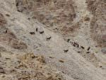 Asiatic Ibex distant views © N Robinson