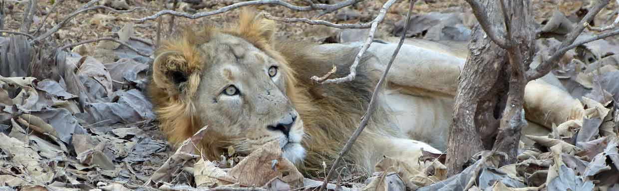 Asiatic Lion, Gir National Park © K Claydon