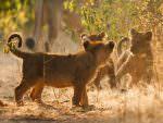 Asiatic Lion cubs at Gir National Park © G Dean