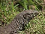 Bengal Monitor Lizard © M O'Dell