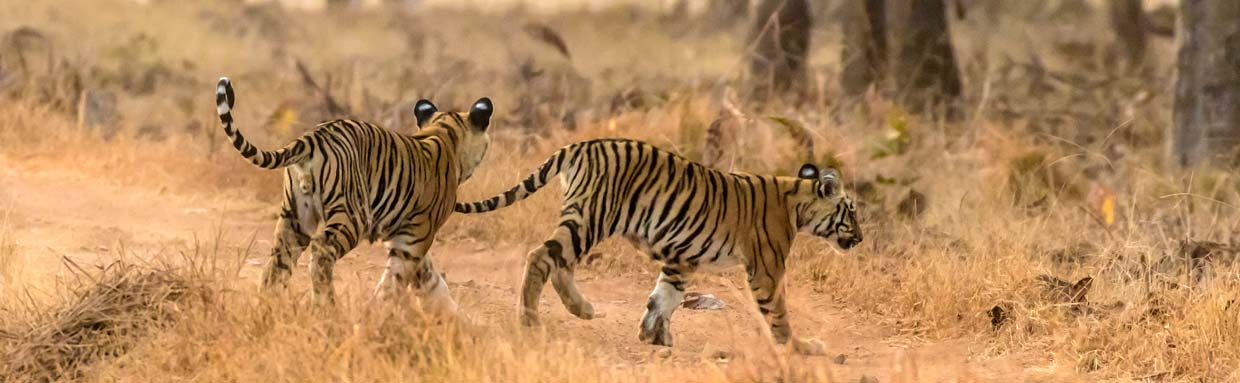 Bengal Tiger cubs at Tadoba © P Clarke