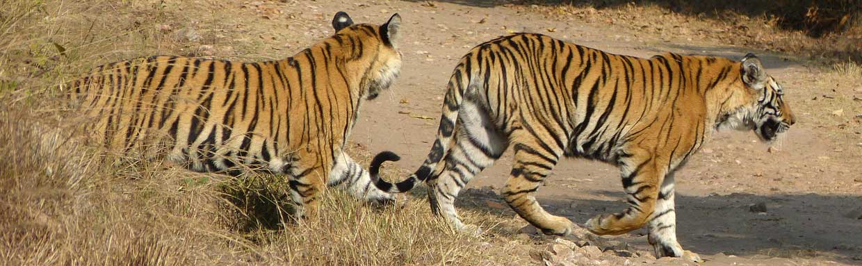 Bengal Tigers, Bandhavgarh © J S Bridges