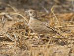 Black-crowned Sparrow Lark female © D Bryan