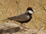 Black-crowned Sparrow Lark (male) © T Lawson