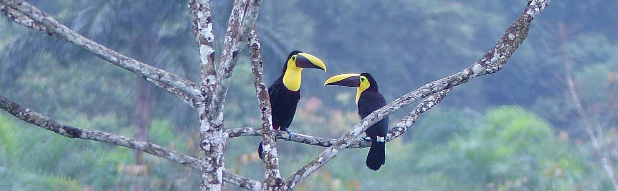 Black-mandibled Toucans © D Bridges