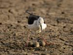 Black-winged Stilt © J Thomas