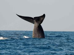 Blue Whale off Mirissa © Tony Sawbridge