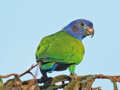 Blue-headed Parrot © K Barnes