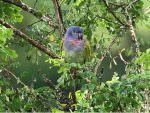 Blue-headed Parrot © J Badley