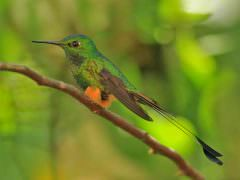 Booted Rackettail E Slope © K Barnes