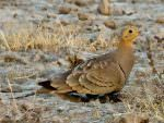 Chestnut-bellied Sandgrouse (male) © T Lawson