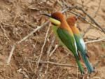 Chestnut-headed Bee-eaters © M O'Dell