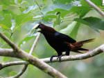 Chestnut-headed Oropendola © M O'Dell