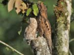 Common Potoo © K Barnes
