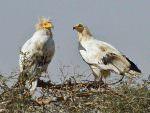 Egyptian Vulture, Bikaner Carcass Dump © T Lawson