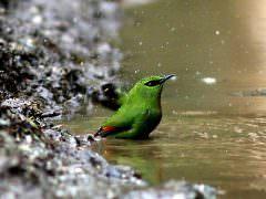 Fire-tailed Myzornis © Rofikul Islam