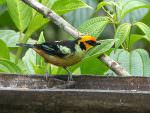 Flame-faced Tanager © D Bridges