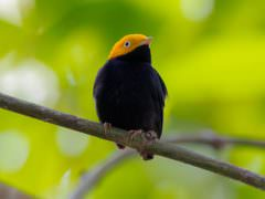 Golden-headed Manakin © Rafael Lau