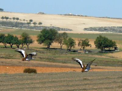 Great Bustards, Petrola, Valencia © J Sykes