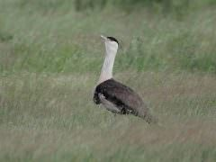 Great Indian Bustard © N Sant