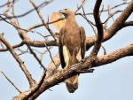 Grey-headed Fish Eagle © I Newton