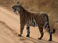Bengal Tiger © H Hazelhorst