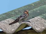 Hill Swallow © J Thomas