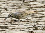 Greater Hoopoe-Lark, Little-Rann of Kutch © T Lawson