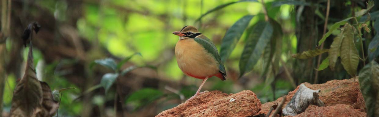 Indian Pitta © M O'Dell