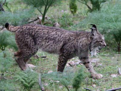 Iberian Lynx Sierra de Andujar © B Barnacal