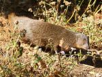 Indian Brown Mongoose © R Wasley