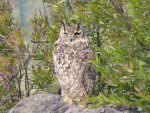 Indian Eagle Owl © K Claydon