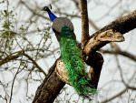 Indian Peafowl © J Bridges
