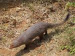 Indian Ruddy Mongoose © J Thomas