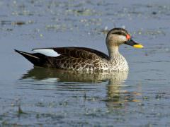 Indian Spot-billed Duck © T Lawson