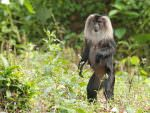 Lion-tailed Macaque © R Wasley