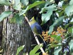 Long-tailed Silky-flycatcher © J Badley