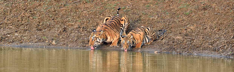 Bengal Tiger (Maya with cub) © I Newton