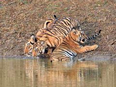 Maya and cubs, Tadoba © I Newton