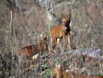 Indian Wild Dog (Dhole) © N Robinson