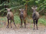 Nilgai, Blackbuck National Park © T Lawson
