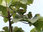 Orange-chinned Parakeet © J Badley