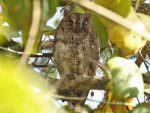 Oriental Scops Owl © R Wasley
