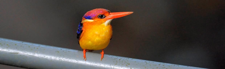 Oriental Dwarf Kingfisher © I Newton