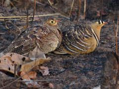 Painted Sandgrouse © J S Bridges