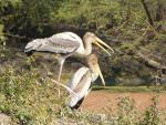 Painted Storks © K Claydon