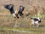 Painted Storks © P Clarke