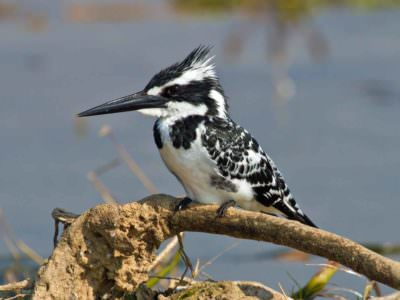 Pied Kingfisher © T Lawson