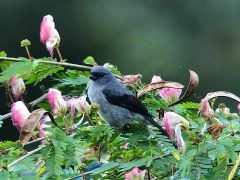 Plain-coloured Tanager © J Badley