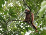 Red Howler © M O'Dell